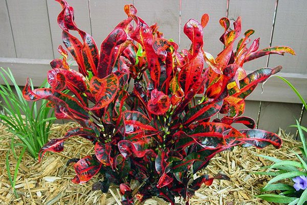 Croton, a colorful variety of cinnamon Mammey
