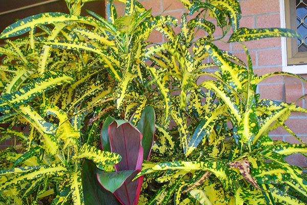 Croton of Golden Finger