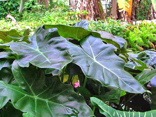 Alocasia hybride Williams Hybrid