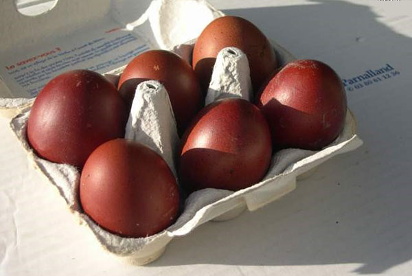 Eggs chickens Maran