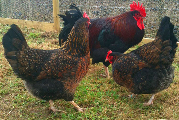 Chickens of the Cornish breed