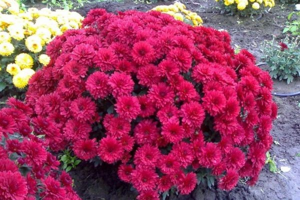 globular chrysanthemum