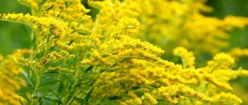 Floración solar de goldenrod hybrid y sus variedades populares